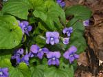 Picture of Wetland Blue Violet (Viola cucullata)